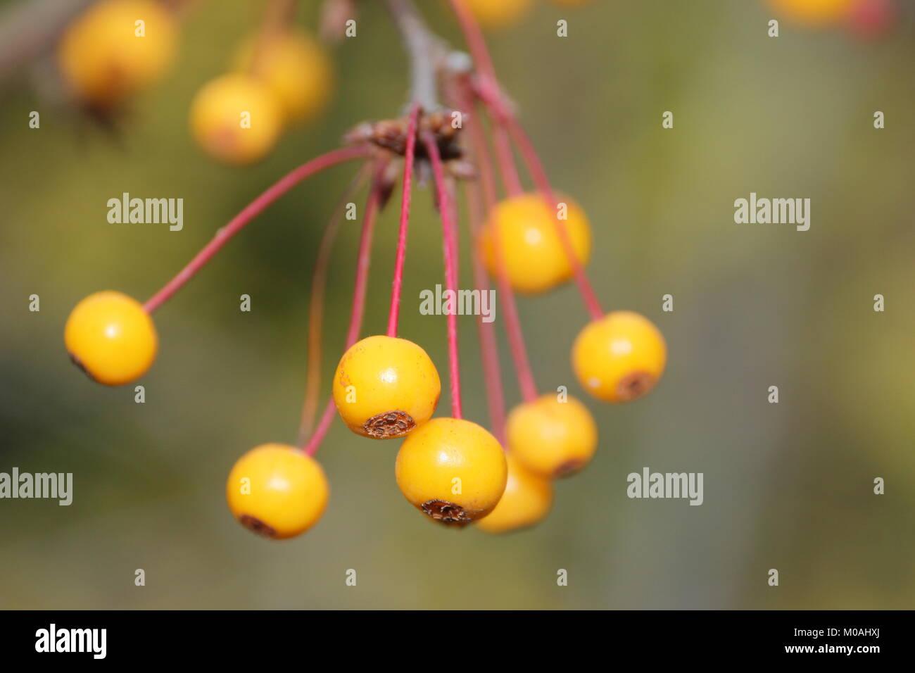 Golden Apple Tree Stock Photos Amp Golden Apple Tree Stock