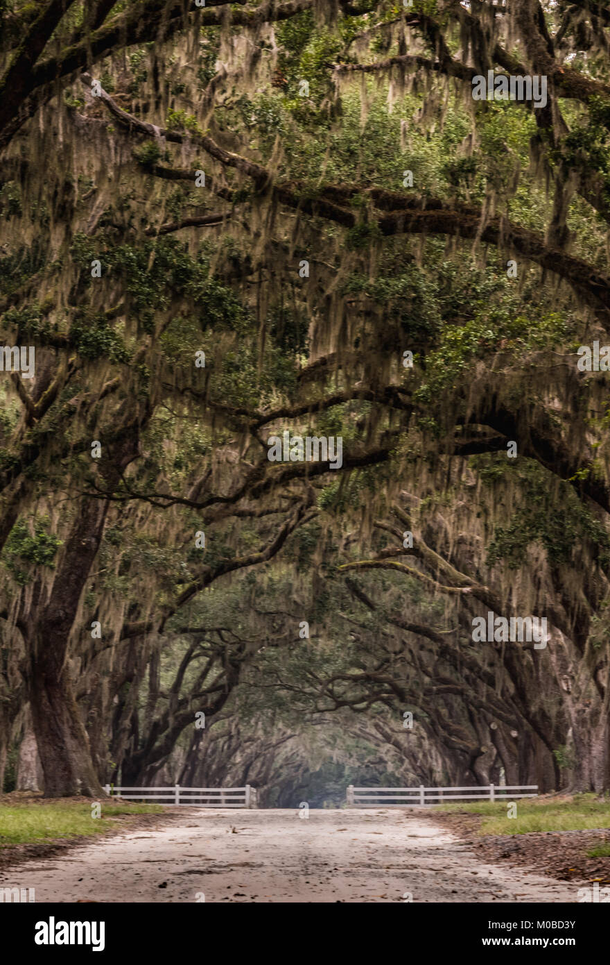 Dirt Road Through Gate Under Live Oak Trees Vetical Image - Stock Image