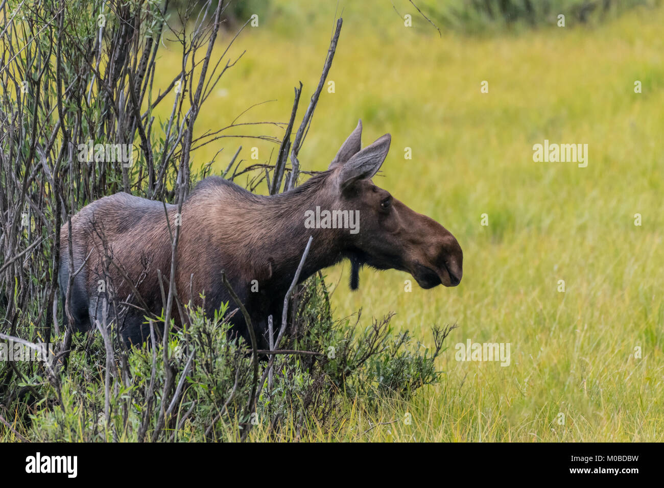 Female Moose Emerges from Willow into Grassy Field - Stock Image