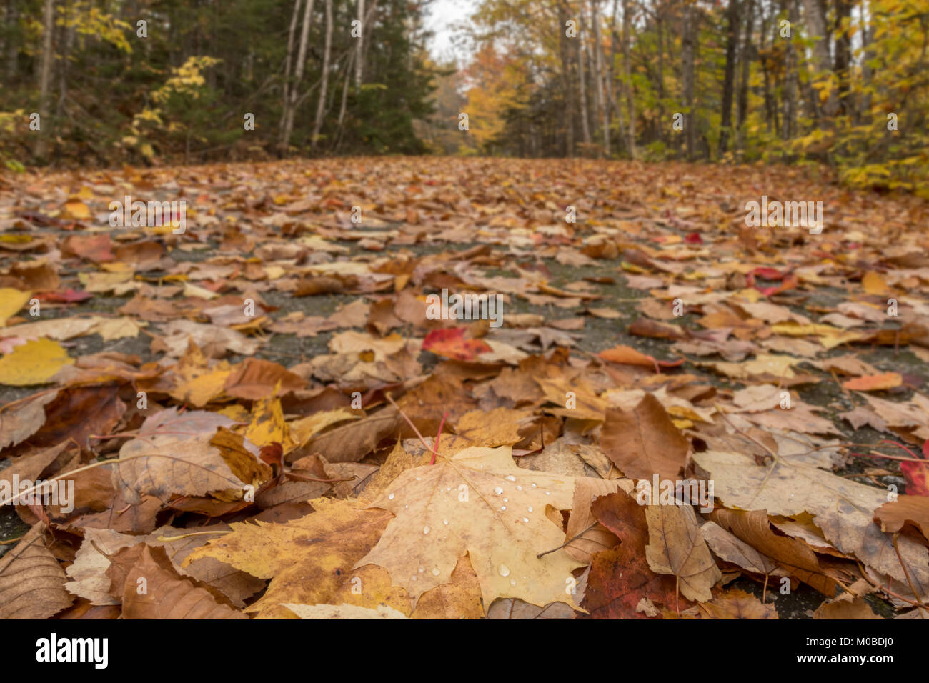 Low Angle View of Leaves Covering Carraige Road in Acadia - Stock Image