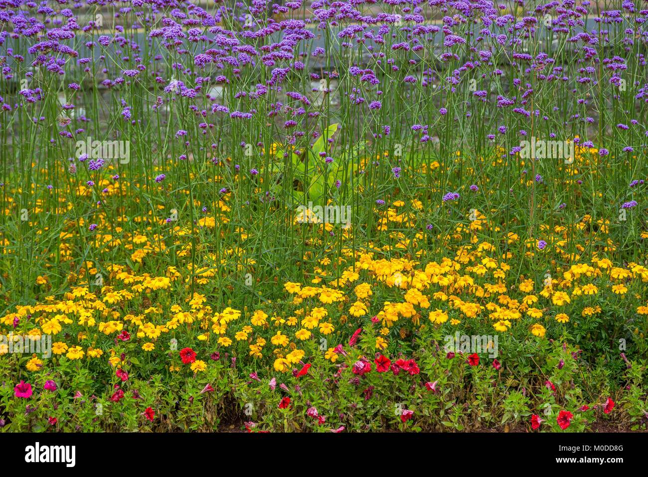 A yellow and purple or mauve display of summer flowers flowering in a park in Torquay, Devon. - Stock Image