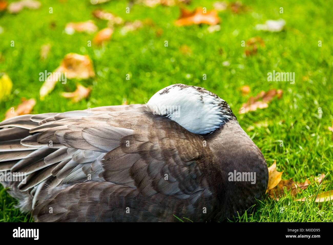 A goose hiding his head in his feathers to sleep or slumber in peace. - Stock Image