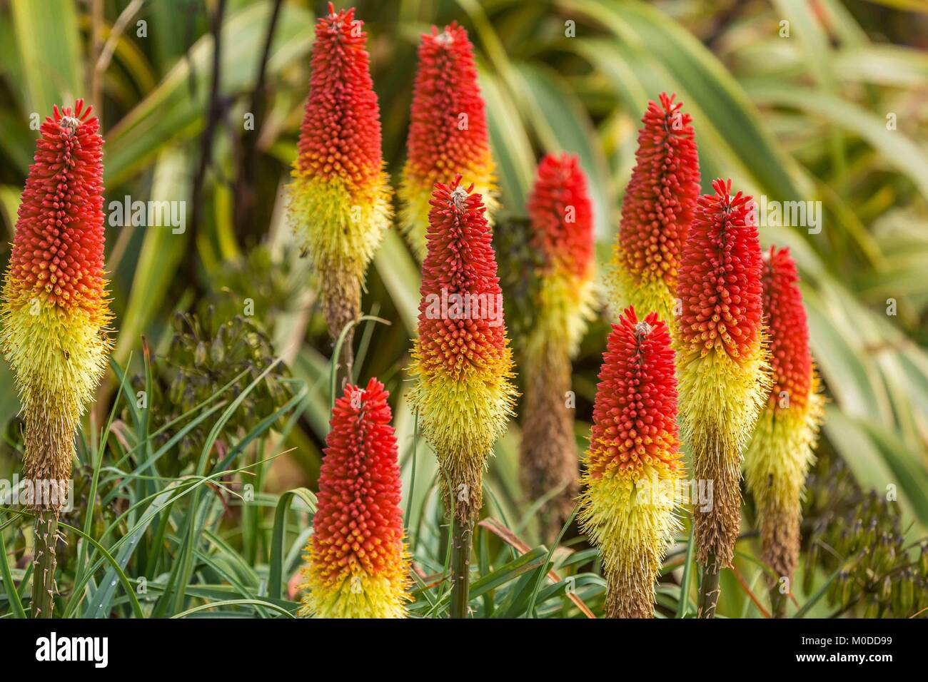 Red hot pokers in a yellow and red perennial display. - Stock Image