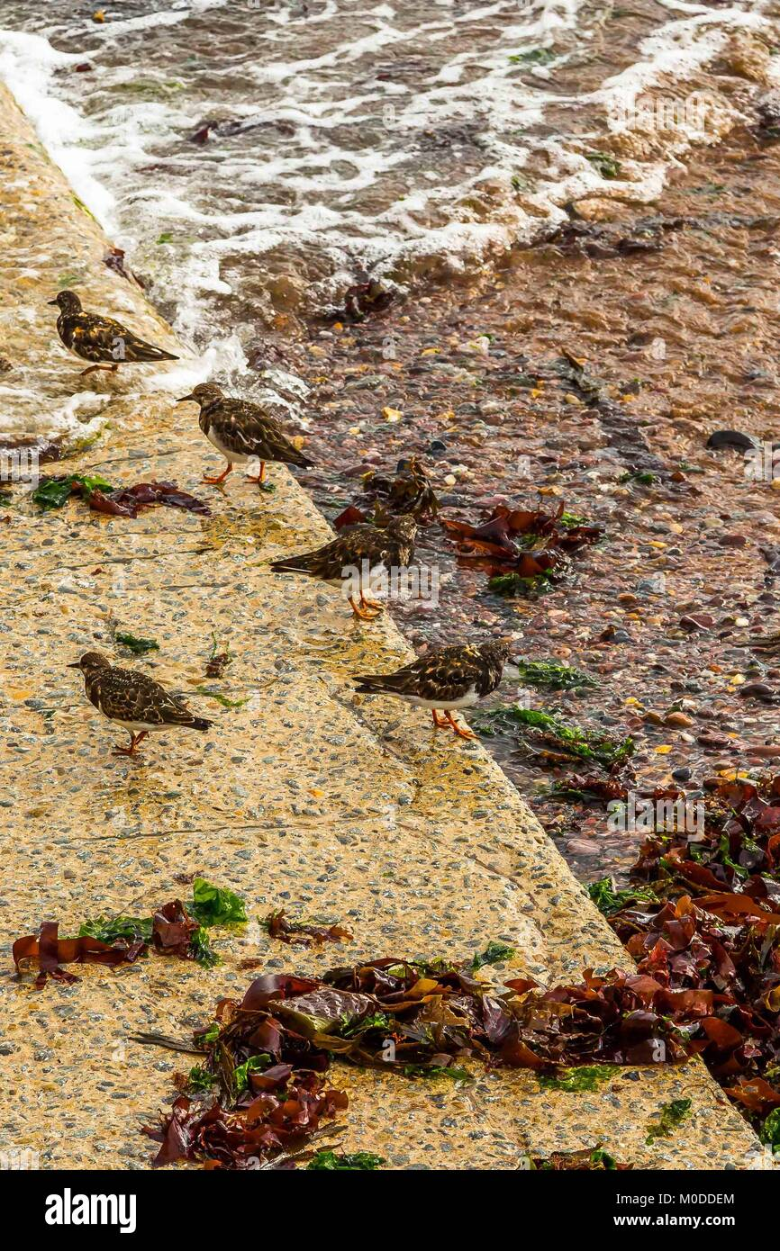 A flock of Turnstones wading  by the beach eating Insects, crustaceans and molluscs on the South Devon coast. - Stock Image