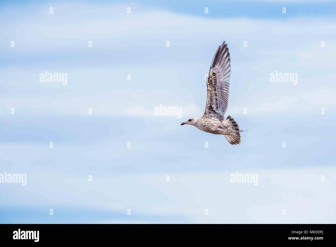 Juvenile seagulls on the South Devon coast. - Stock Image