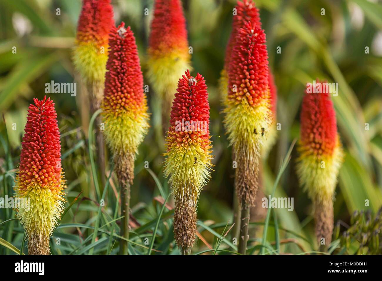Yellow and red red hot pokers displaying wonderful coloured flowers. - Stock Image