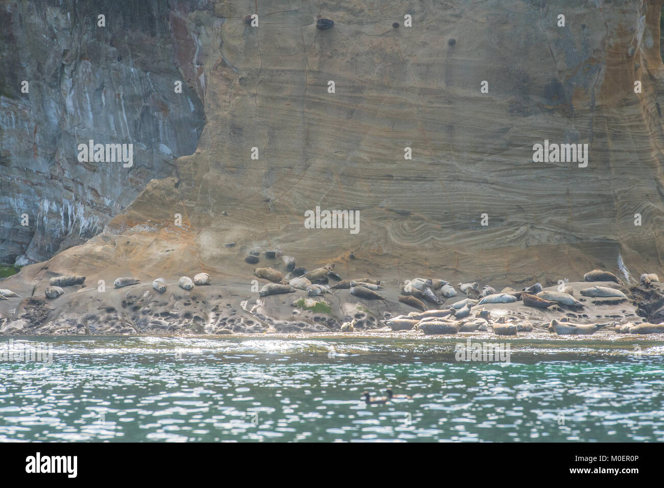 Seals Sleep Along Rocky Coast Near Depoe Bay in Oregon - Stock Image