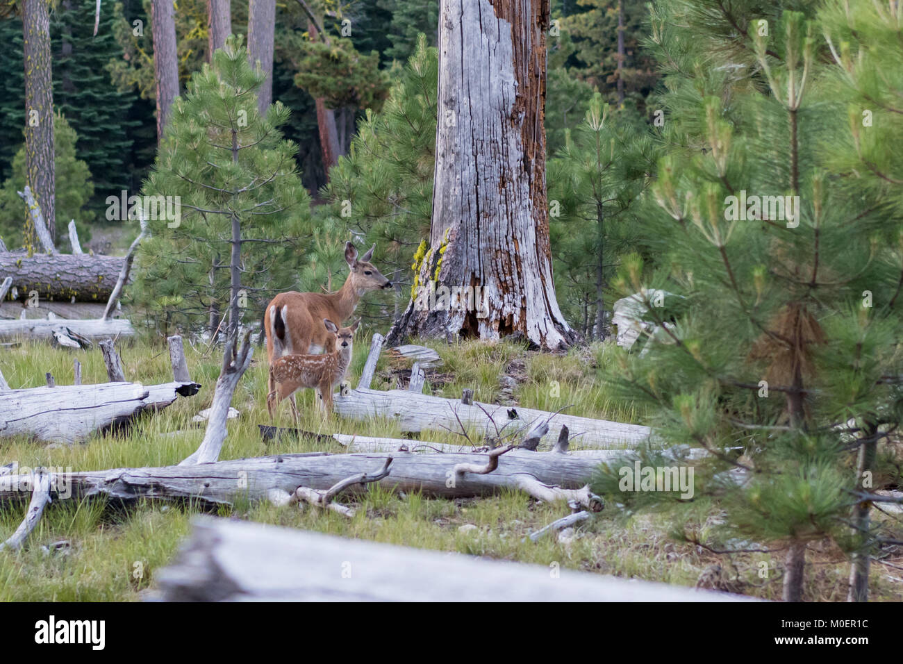 Spotted Fawn and Mother Among Pine Trees - Stock Image