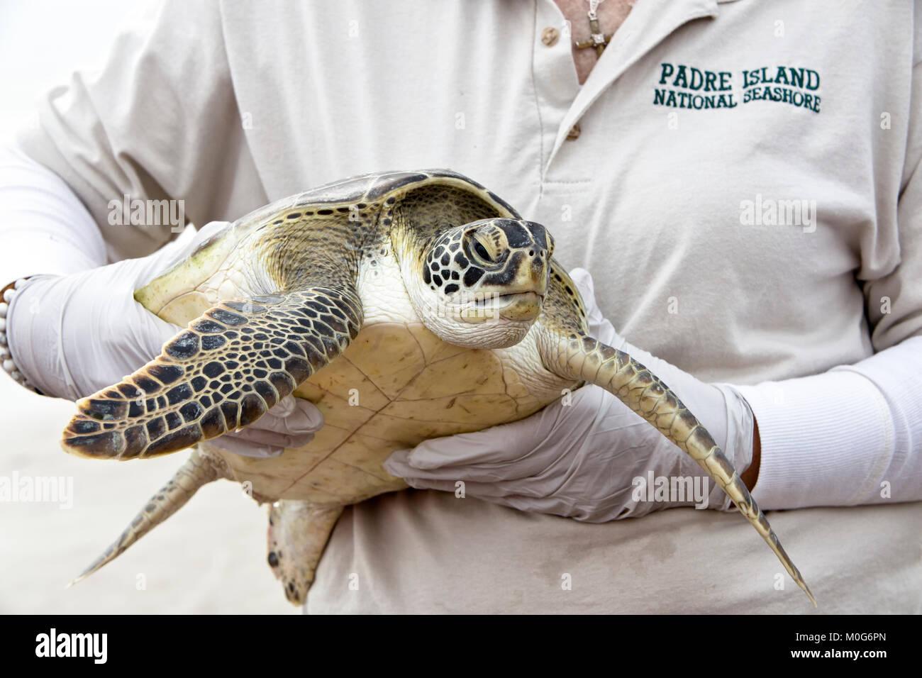 Female adult volunteer carrying & showing rehabilitated Kemp's Ridley Sea Turtle 'Lepidochelys kempii' - Stock Image