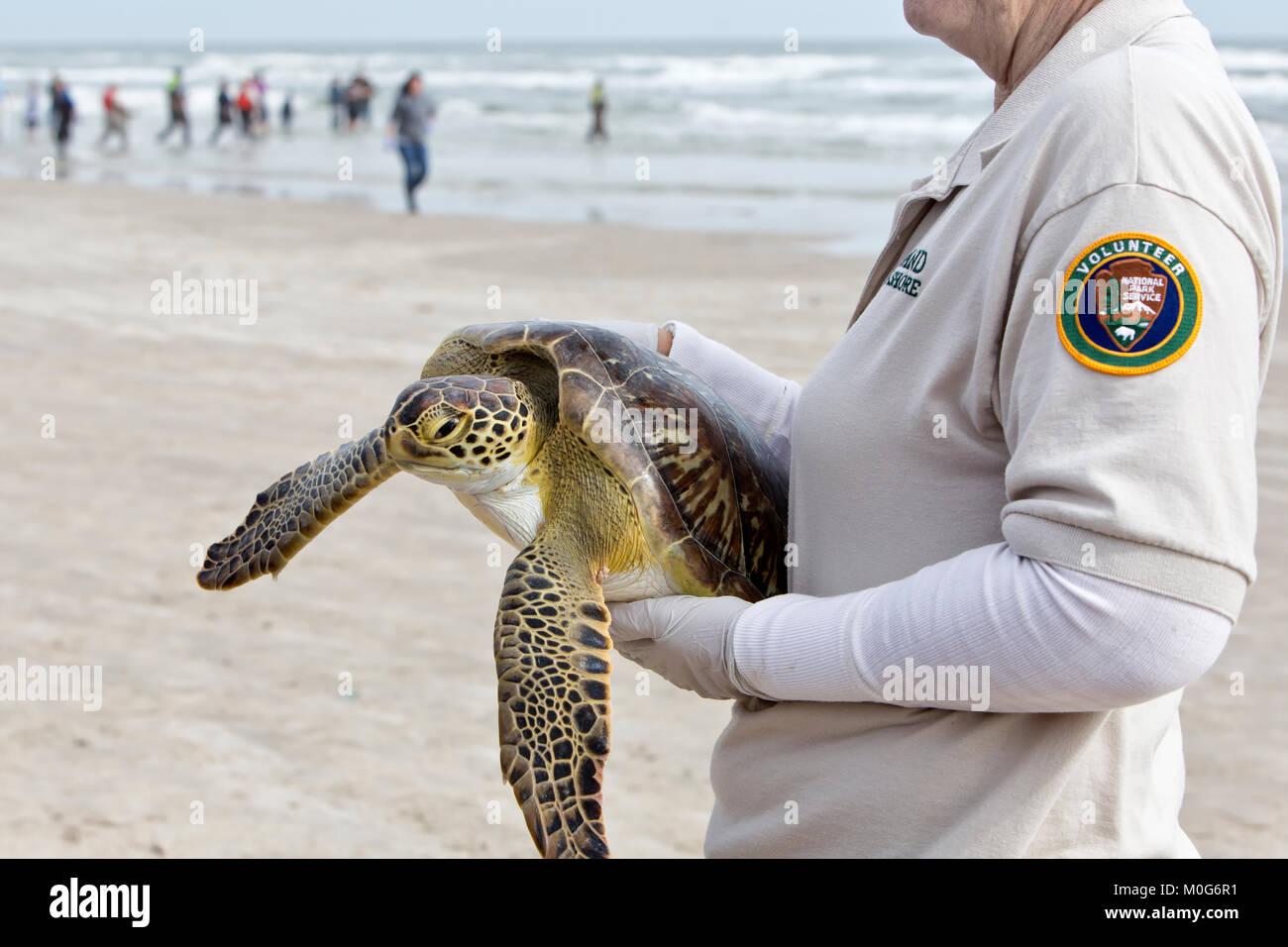 Adult female volunteer carrying & showing rehabilitated Kemp's Ridley Sea Turtle 'Lepidochelys kempii' - Stock Image