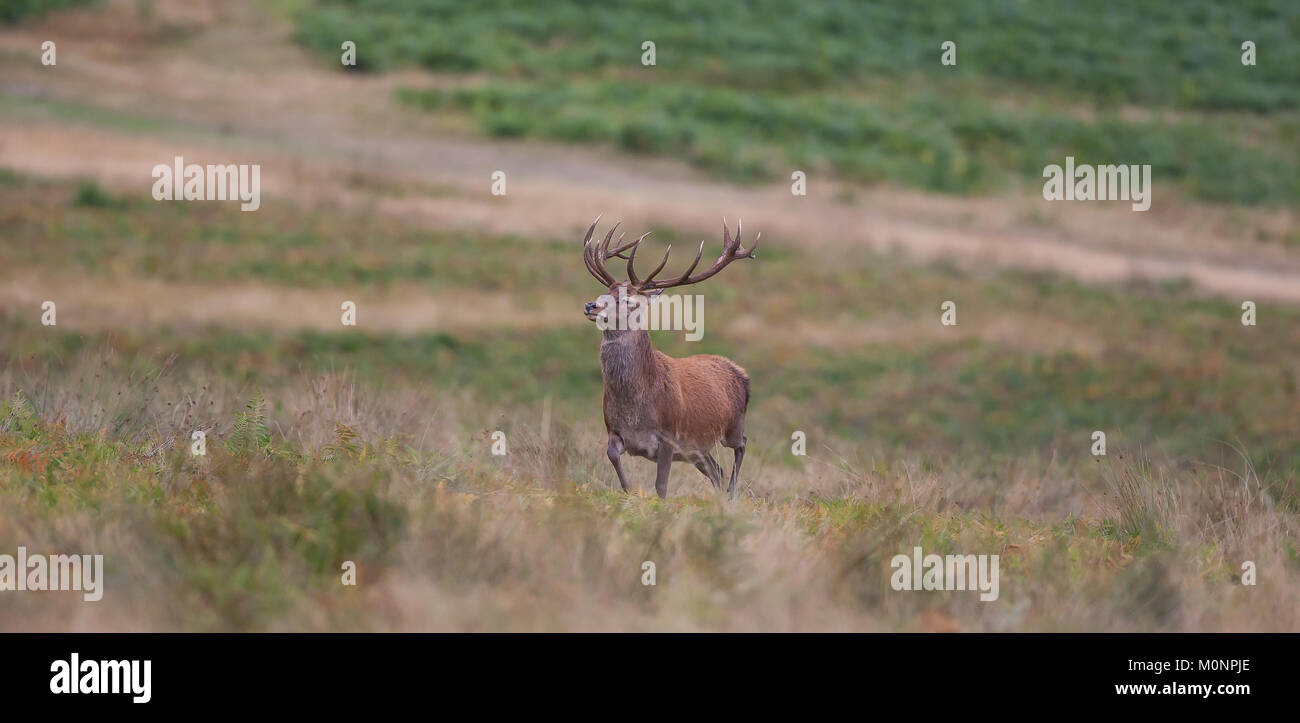 Once and mature male red deer shall afford