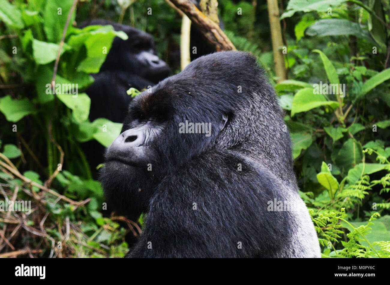 A Mountain Gorilla in Virunga national park, Eastern Congo. - Stock Image