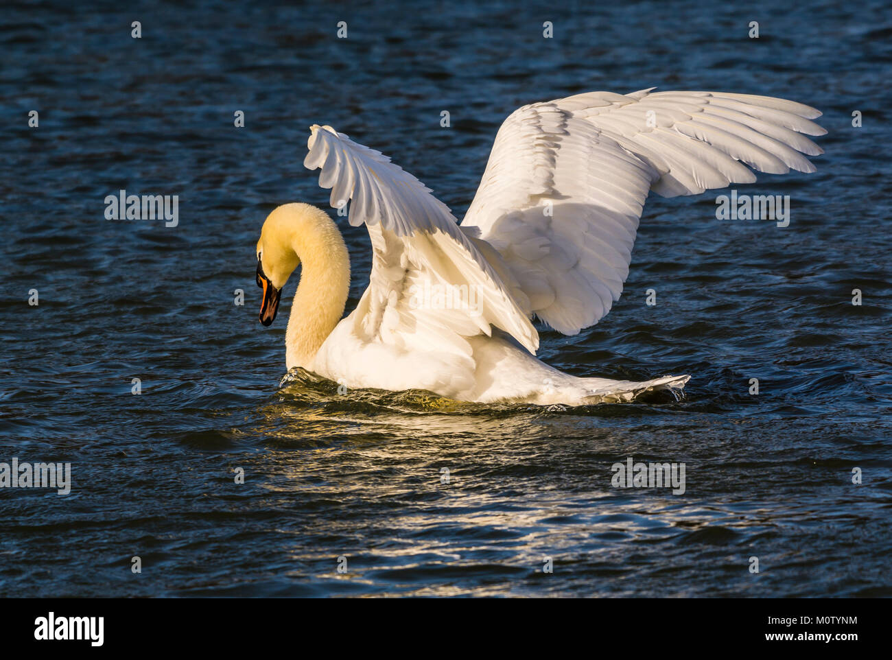 Mute Swan in the winter sun on the Octagon Lake, Stowe, Buckinghamshire, UK - Stock Image