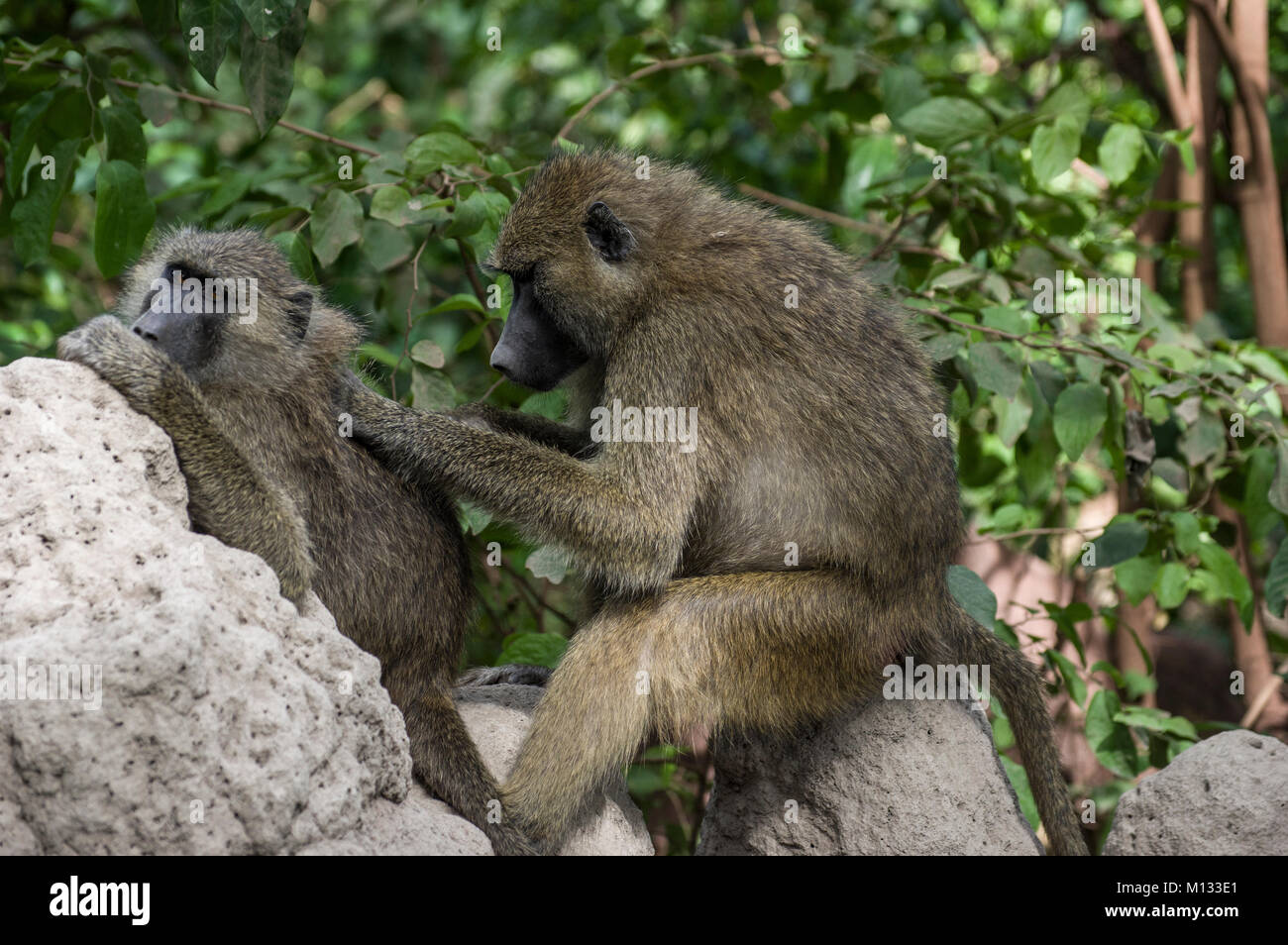 One baboon grooming another on the rocks for fleas or lice in the Serengeti, North Tanzania, Arush, on safari - Stock Image