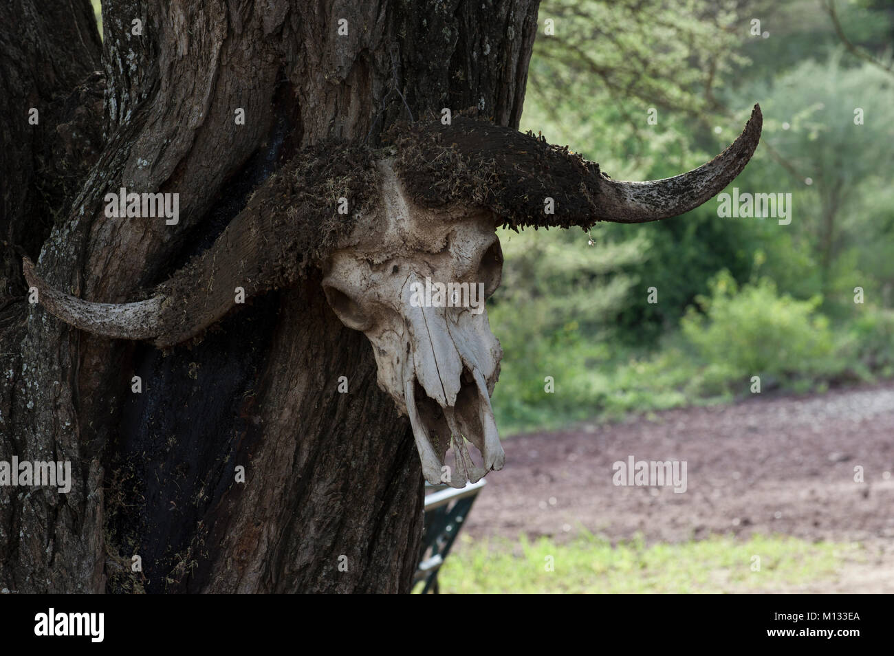 African buffalo skull with horns mounted on a tree in the Serengeti, Arusha, North Tanzania on a sunny day with - Stock Image