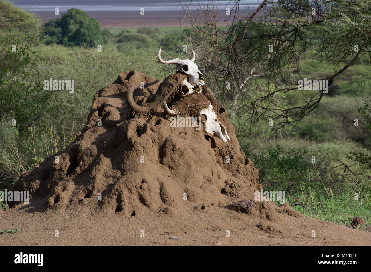 African buffalo skulls with horns bleached white displayed on a termite mound in the Serengeti, Arusha, North Tanzania - Stock Image