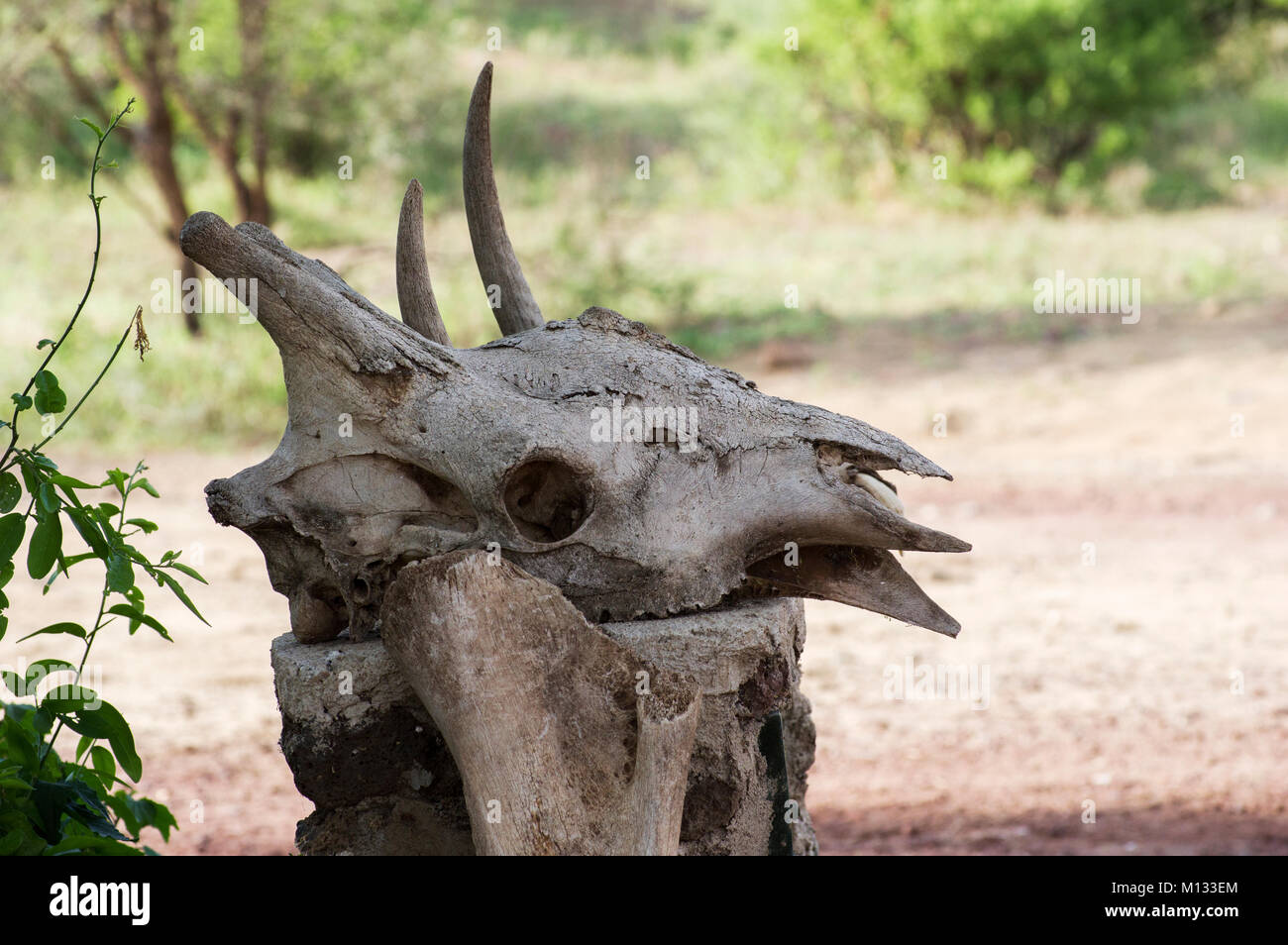 Water buffalo skull with horns bleached white resting on the same colour tree stump in the Serengeti, Arusha, North - Stock Image