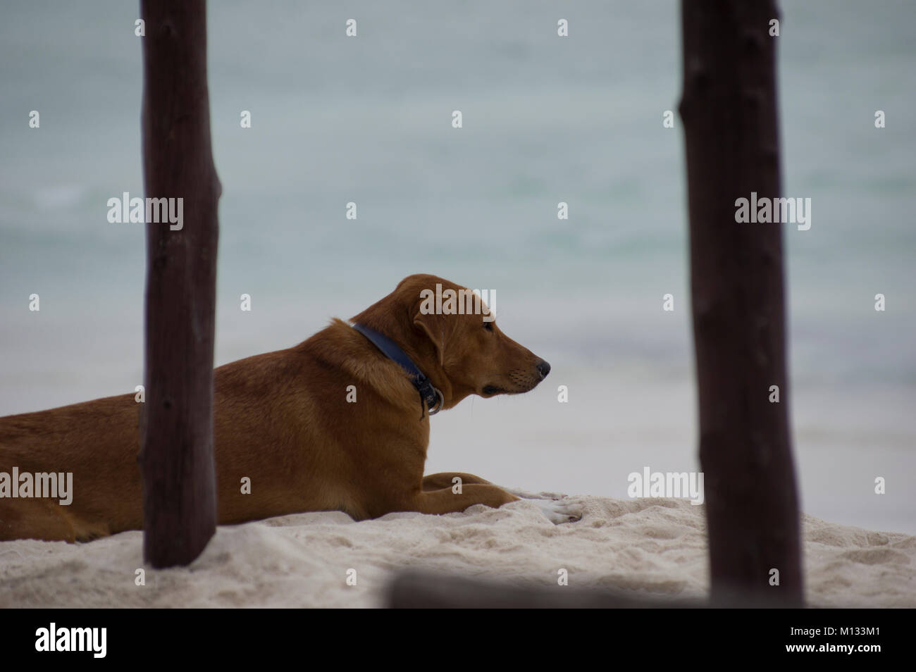 A dog resting on the sand gazes thoughtfully at the turquoise waters of the Indian Ocean sea in Nungwi, Zanzibar, - Stock Image