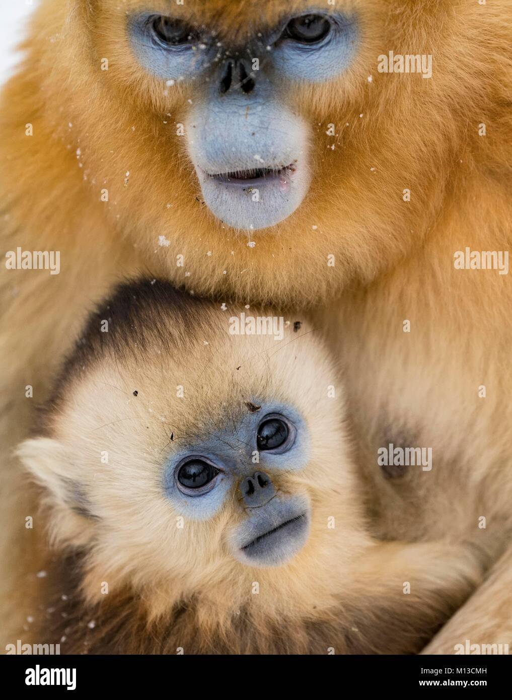 Beijing, China's Hubei Province. 26th Jan, 2018. Golden monkeys are seen at a conservation base in Shennongjia, - Stock Image