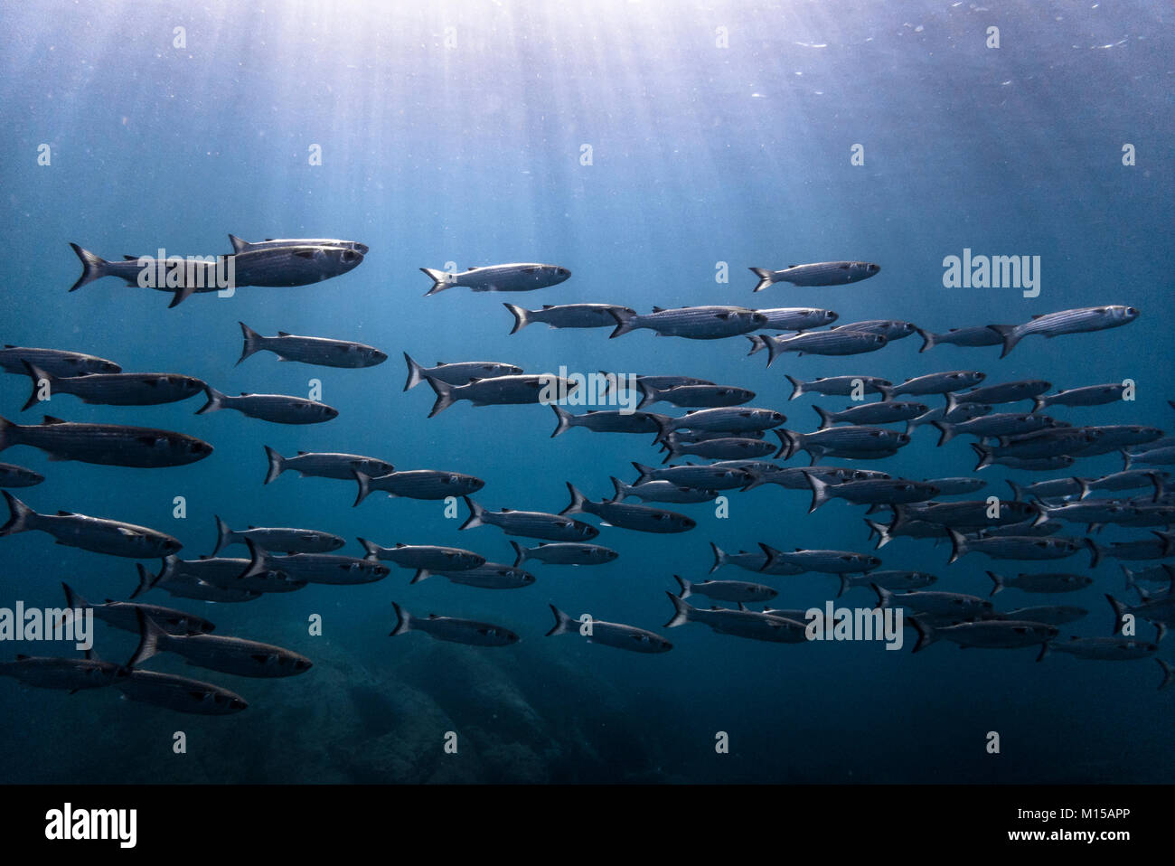 School of Mullet photographed in SE Brazil's island of Ilhabela. - Stock Image
