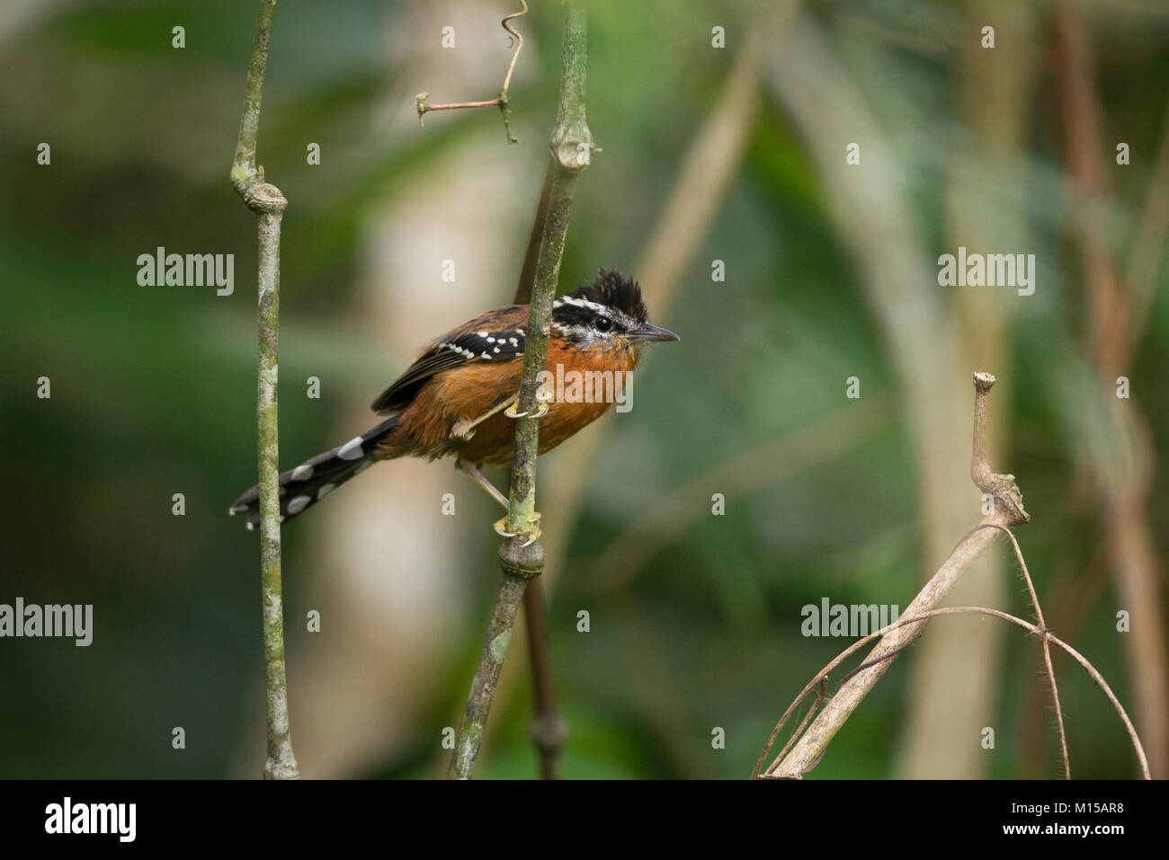 A Ferruginous Antbird (Drymophila ferruginea) from SE Brazil's Atlantic Rainforest - Stock Image