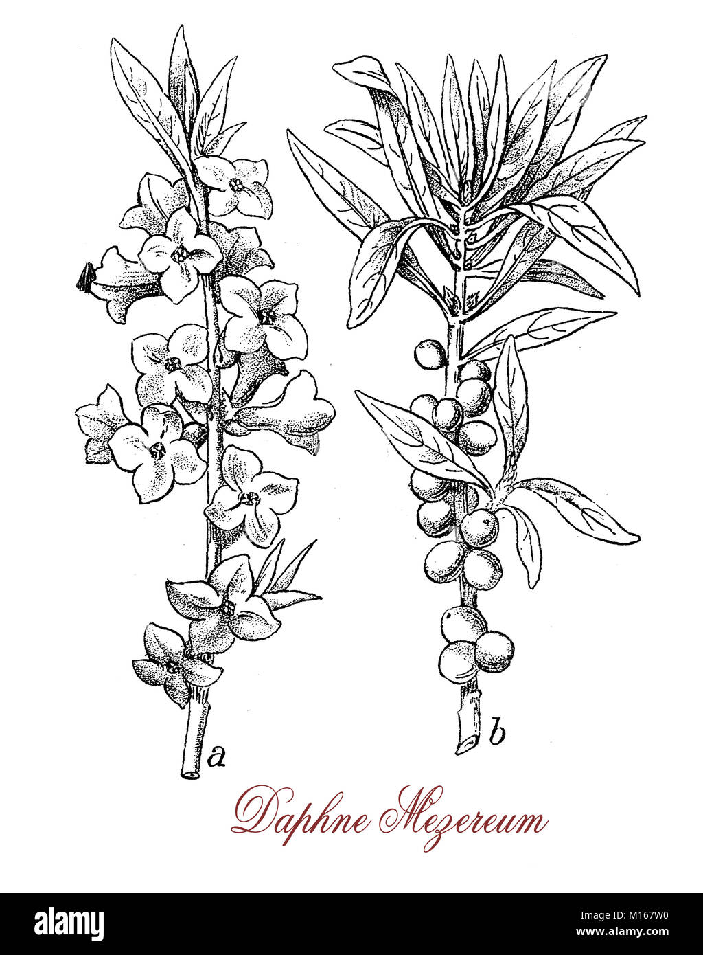 Vintage engraving of Daphne mezereum or February daphne, ornamental shrub cultivated in garden with scented flowers - Stock Image