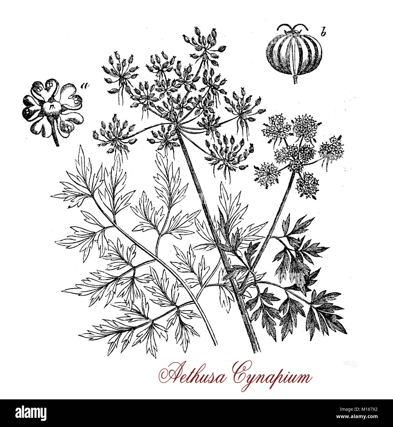 Vintage print of Aethusa cynapium or poison parsley, common poisonous herb with white inflorescences and an unpleasant - Stock Image
