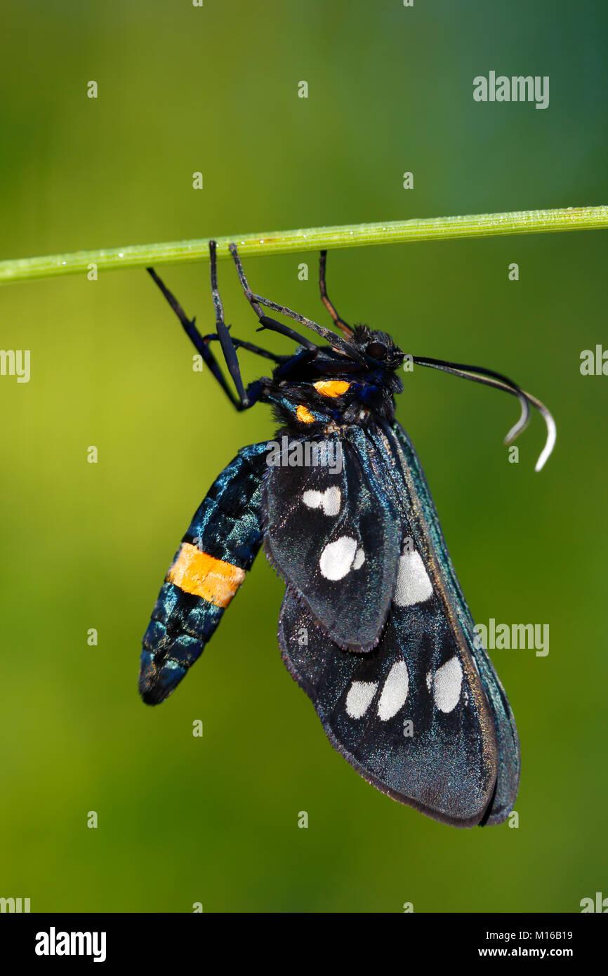Nine-spotted moth (Amata phegea), male, Biosphere Reserve Middle Elbe, Saxony-Anhalt, Germany - Stock Image