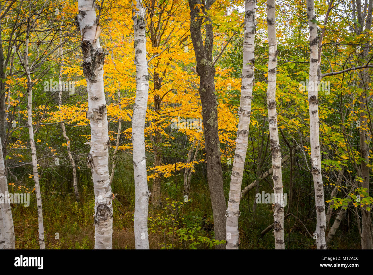White Paper Birch Tree Trunks with autumn leaves changing colors - Stock Image