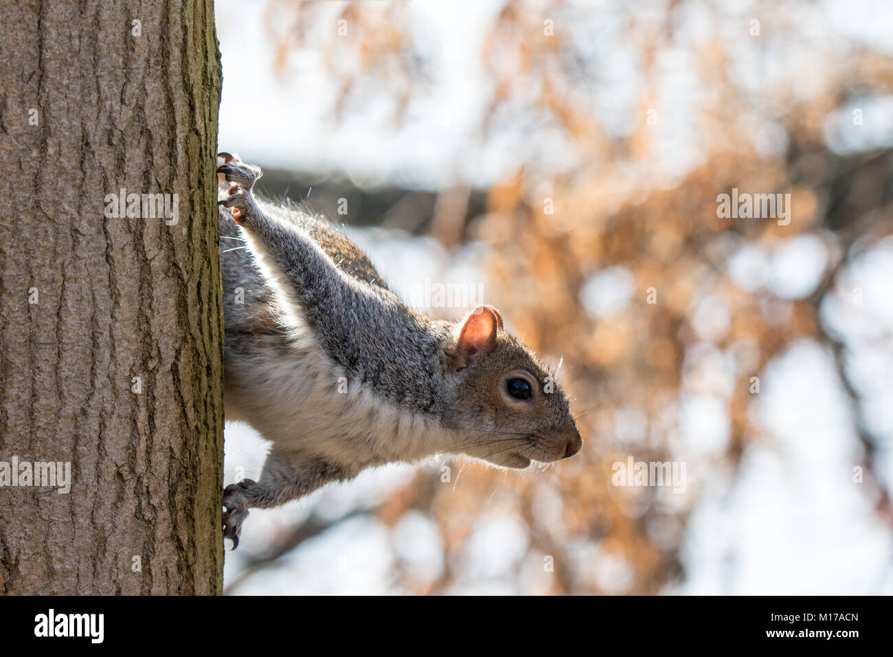 Grey squirrel on side of tree trunk about to jump. Close up in frame - Stock Image