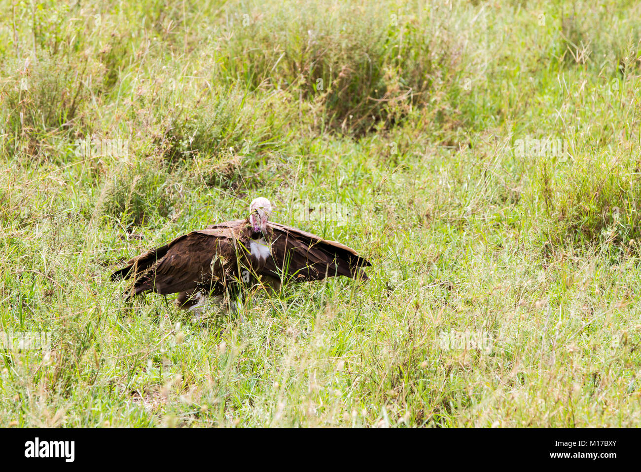 the nubian vulture What's the difference between a condor and a vulture.