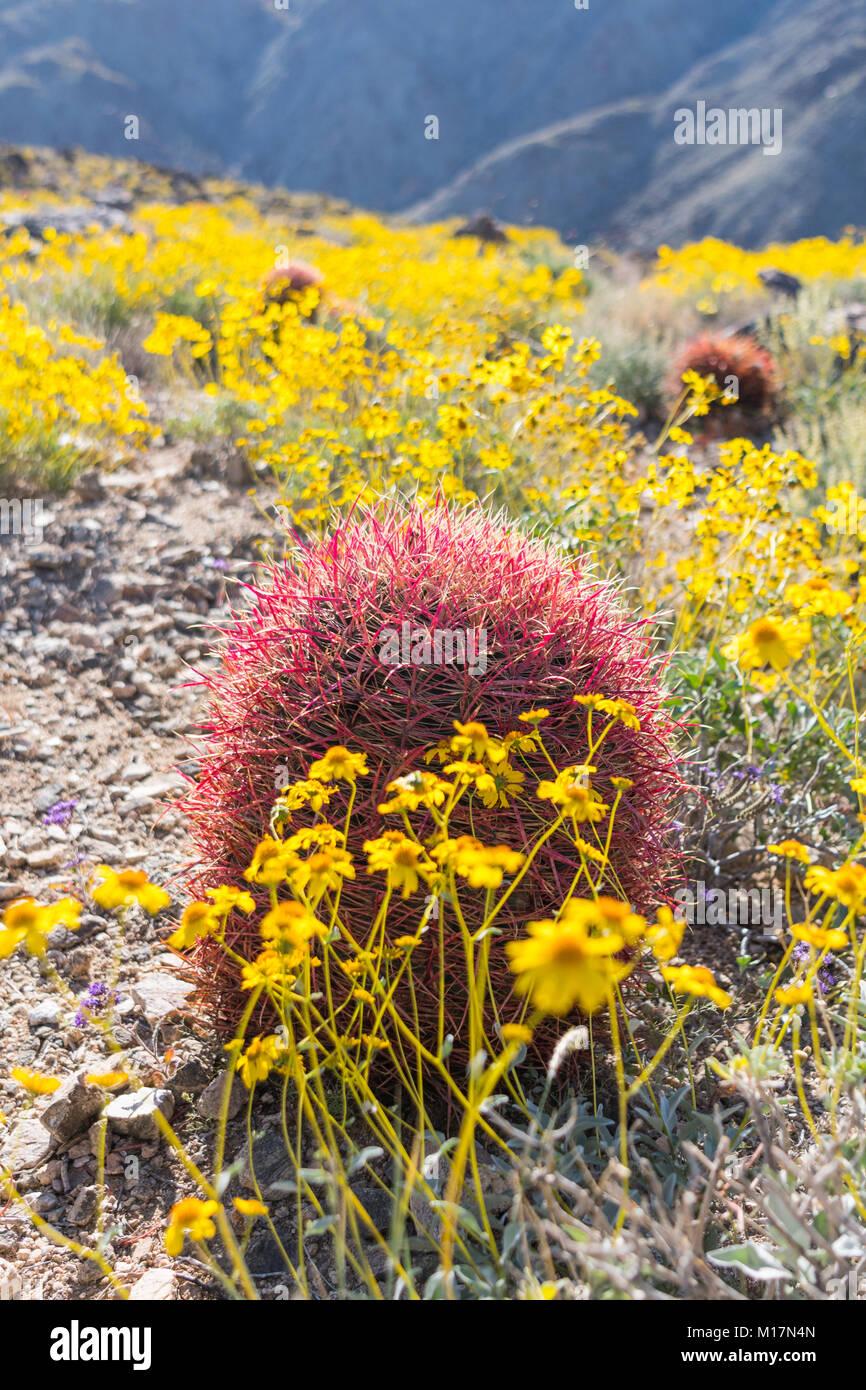 California Brittlebush Surround Barrel Cactus during super bloom - Stock Image