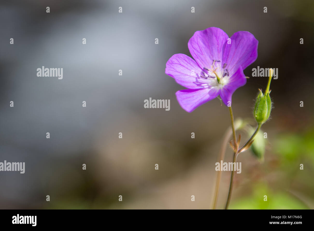 Close Up of Single Purple Phacelia Flower with Copy Space to Left - Stock Image