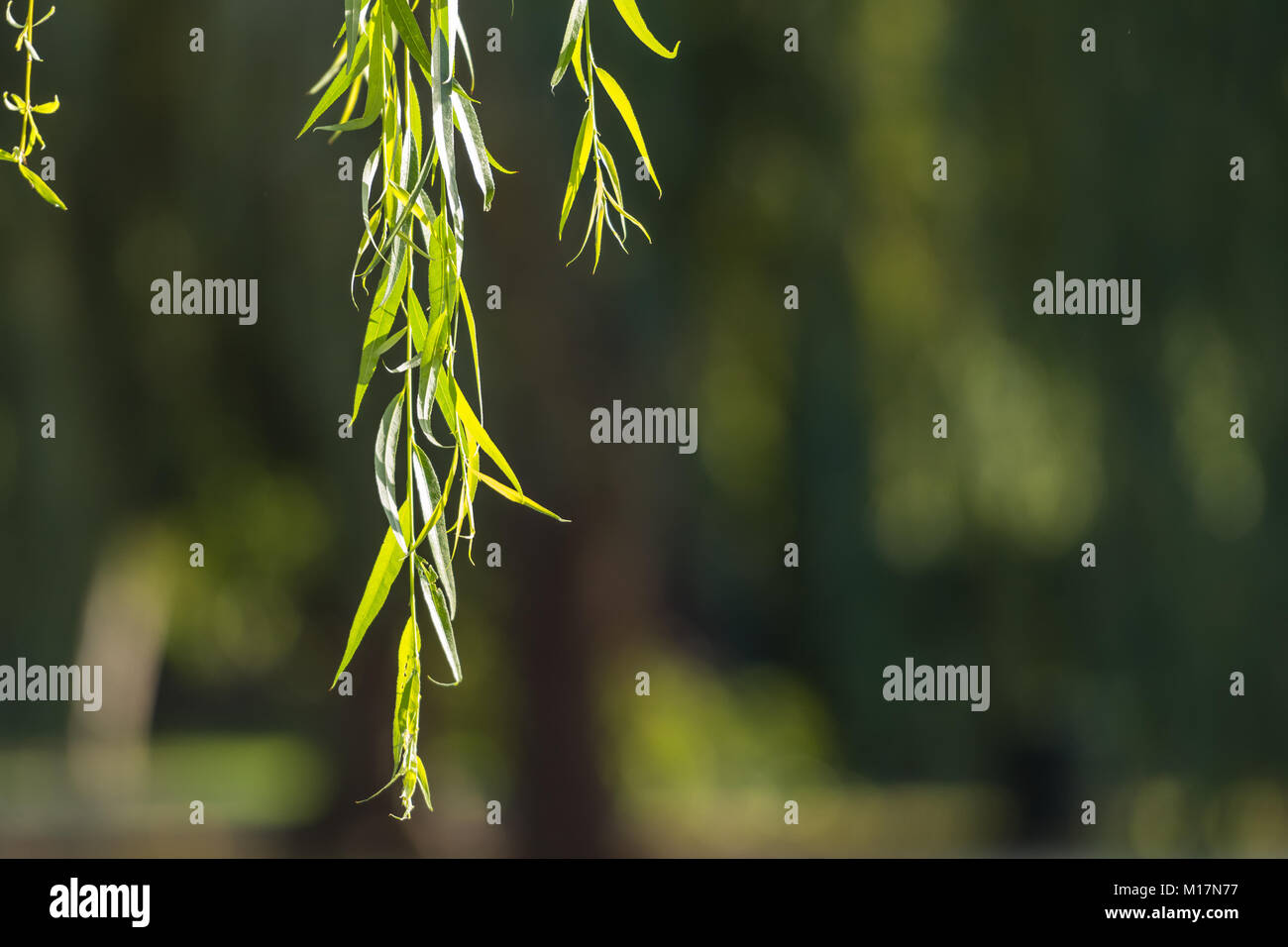 Close Up of Weeping Willow Leaves and Copy Space to Right - Stock Image