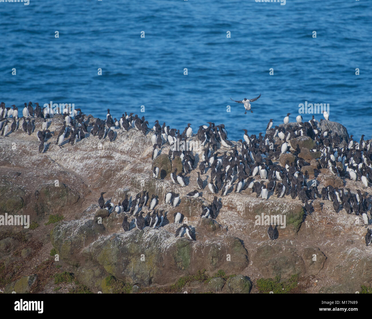 Common murre Nesting on Rock along Pacific coast - Stock Image