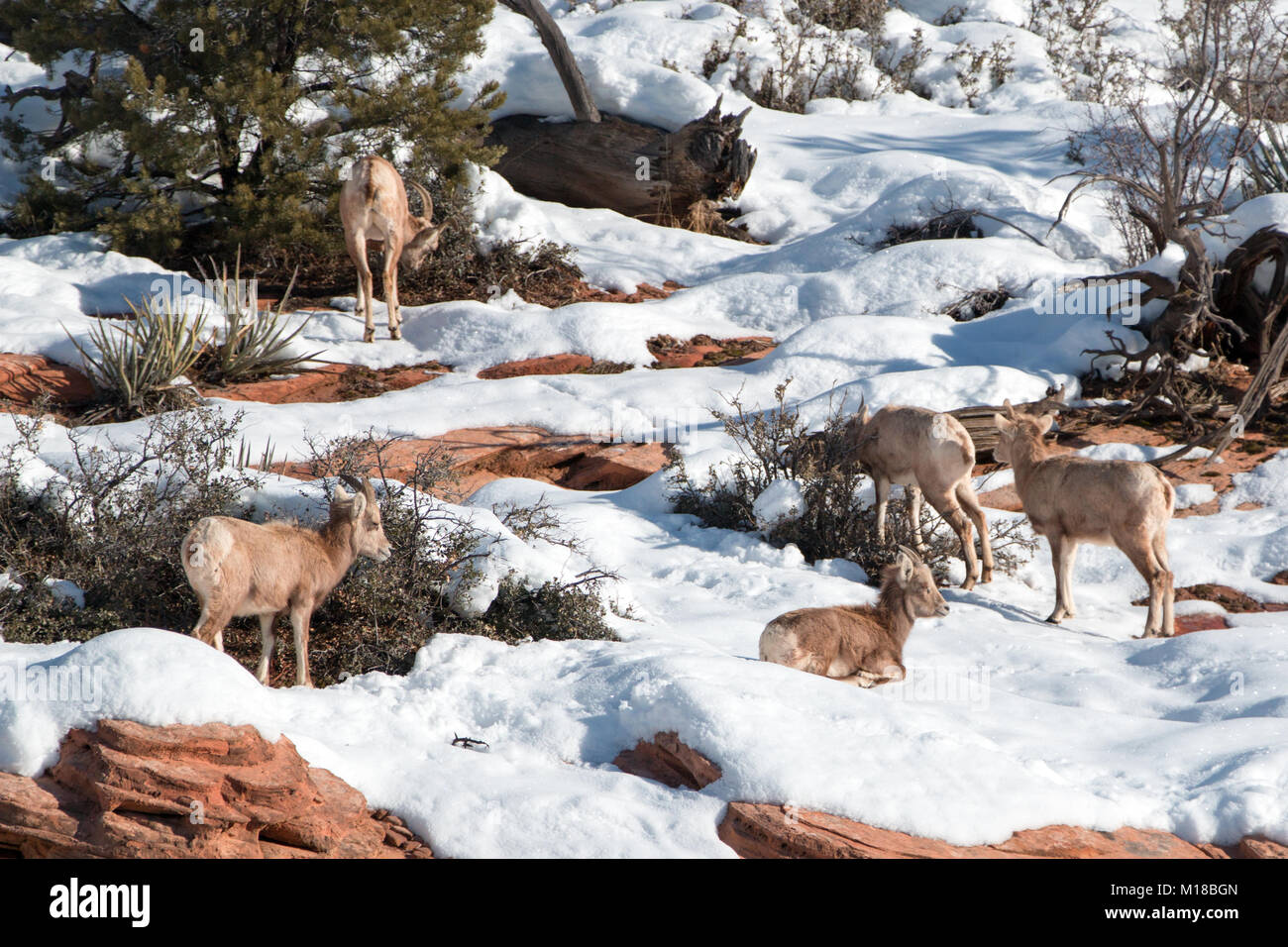 Ram Big Horn >> Desert Big Horn Sheep Stock Photos & Desert Big Horn Sheep Stock Images - Alamy