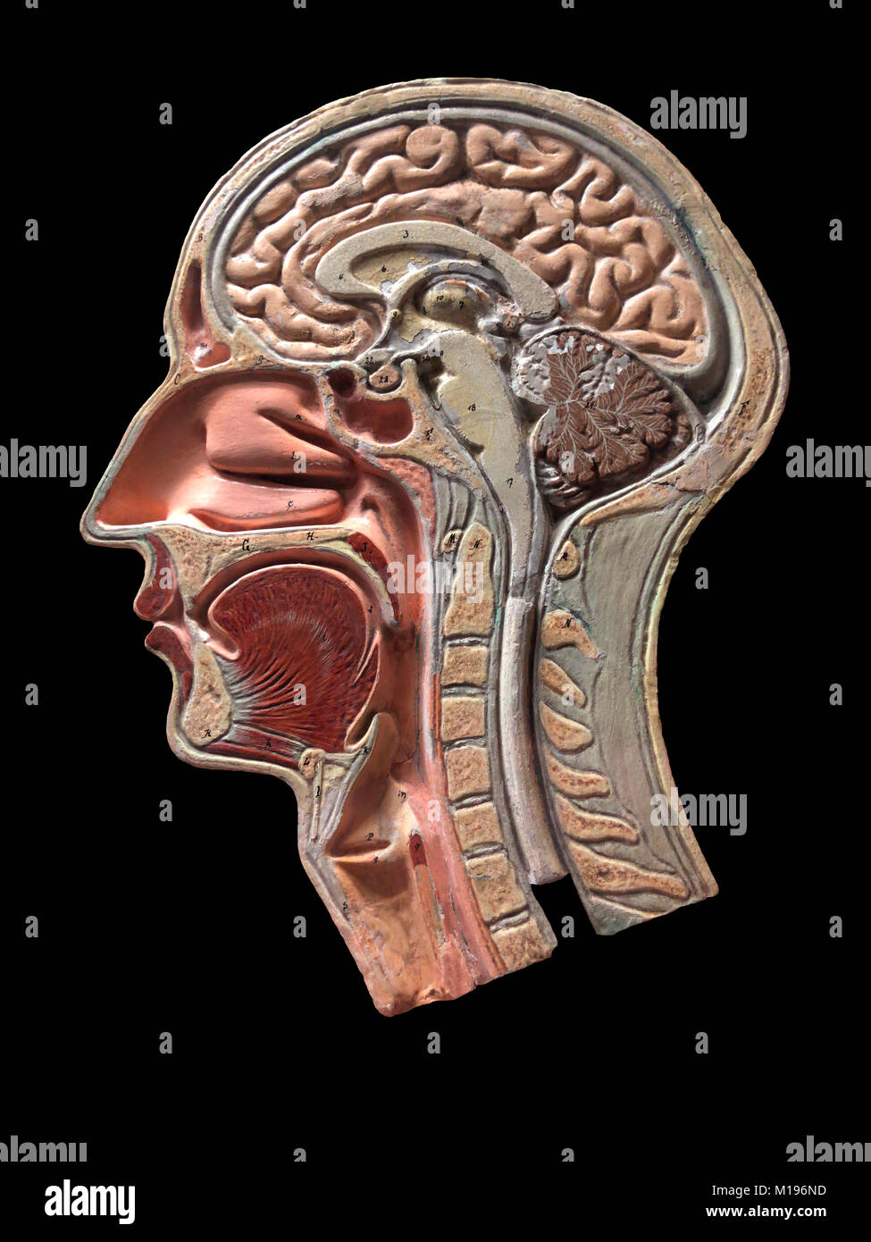 A vintage anatomy model of the human head. This handmade plaster cross section dates from circa 1860. - Stock Image