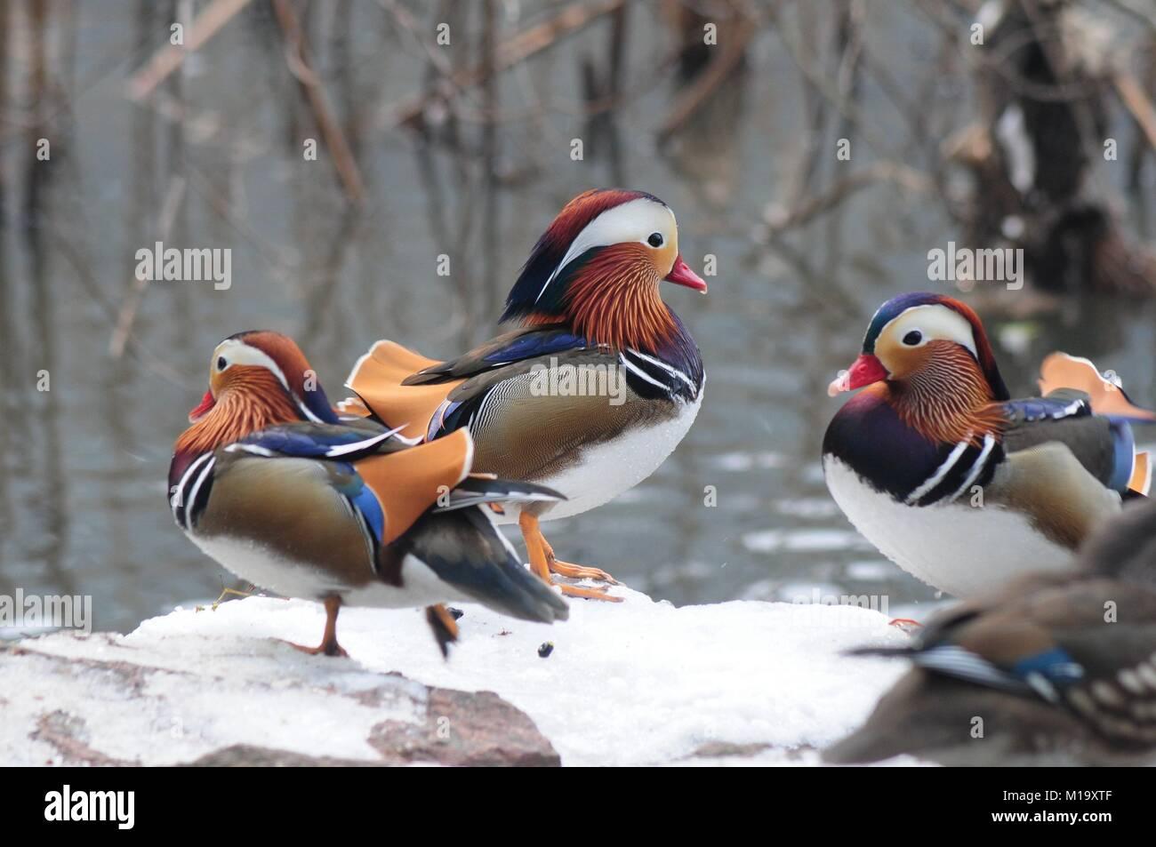 Hangzhou, China. 29th Jan, 2018. Mandarin ducks can be seen at Gushan Park in Hangzhou, east China's Zhejiang - Stock Image