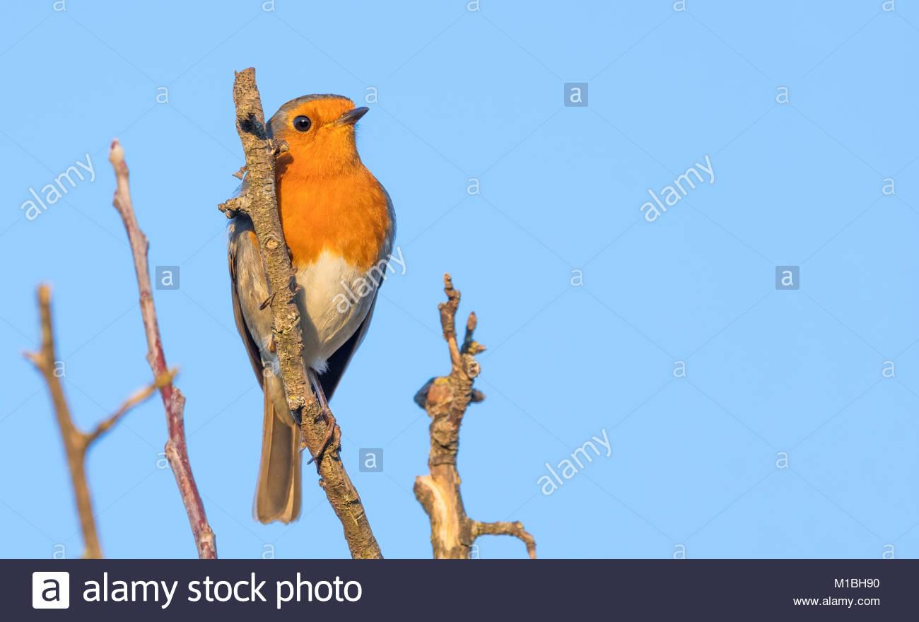 adult-european-robin-erithacus-rubecula-or-robin-redbreast-perched-M1BH90.jpg