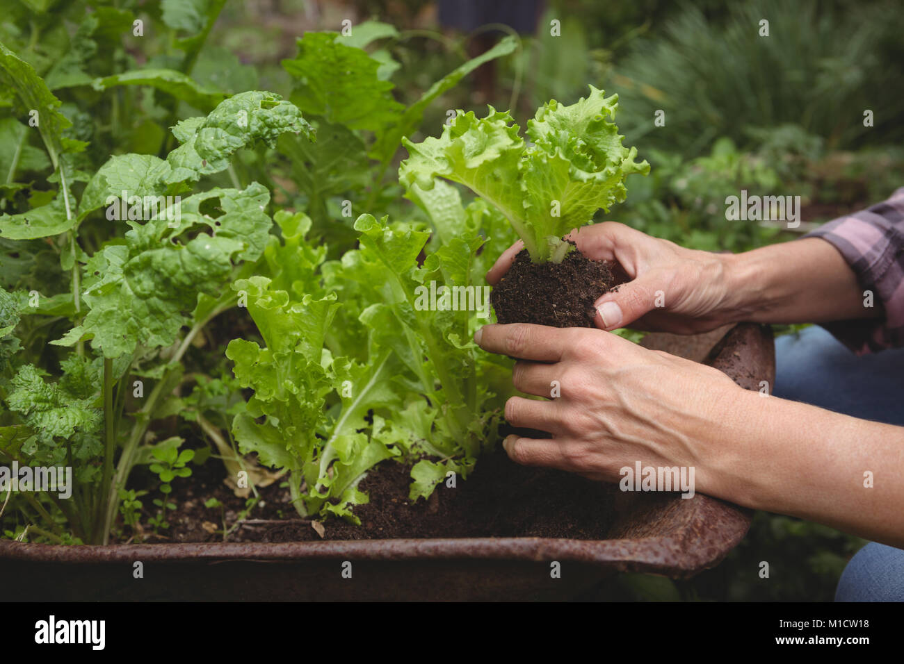 Mid section of woman examining plant - Stock Image
