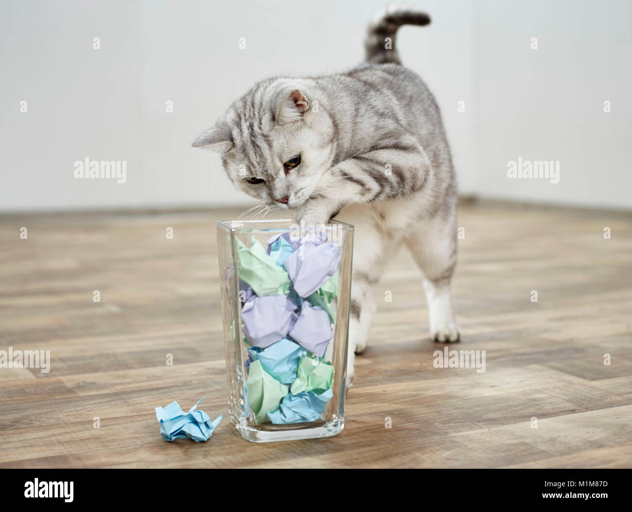 British Shorthair cat. Tabby adult angling a crumbled paper out from a glass container. Germany - Stock Image