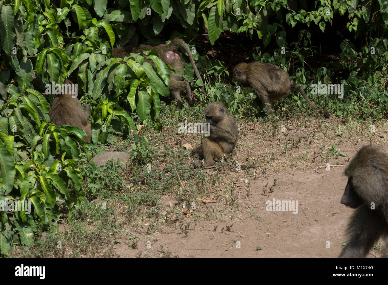 Olive baboons or papio anubis at Lake Manyara in the Serengeti, North Tanzania, Arush, on safari - Stock Image
