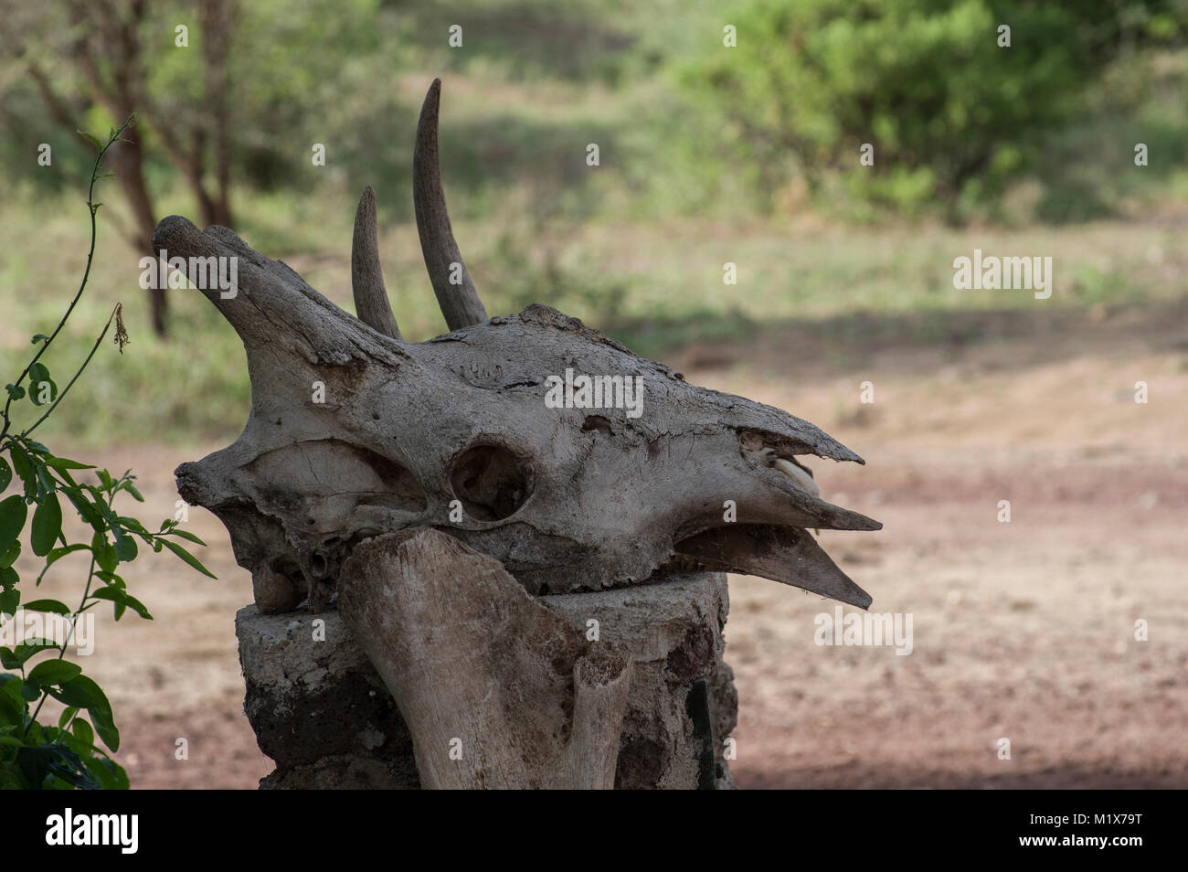 Water buffalo skull with horns bleached placed on a similarly colour tree stump in the Serengeti, Arusha, North - Stock Image