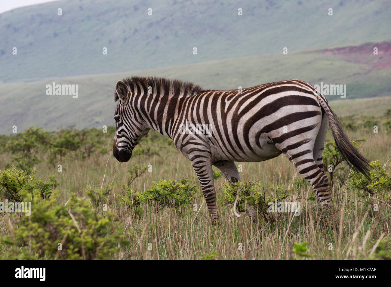 Lone zebra grazing in the grass on the plain of the Serengeti National Park in Arush, Tanzania on a safari through - Stock Image