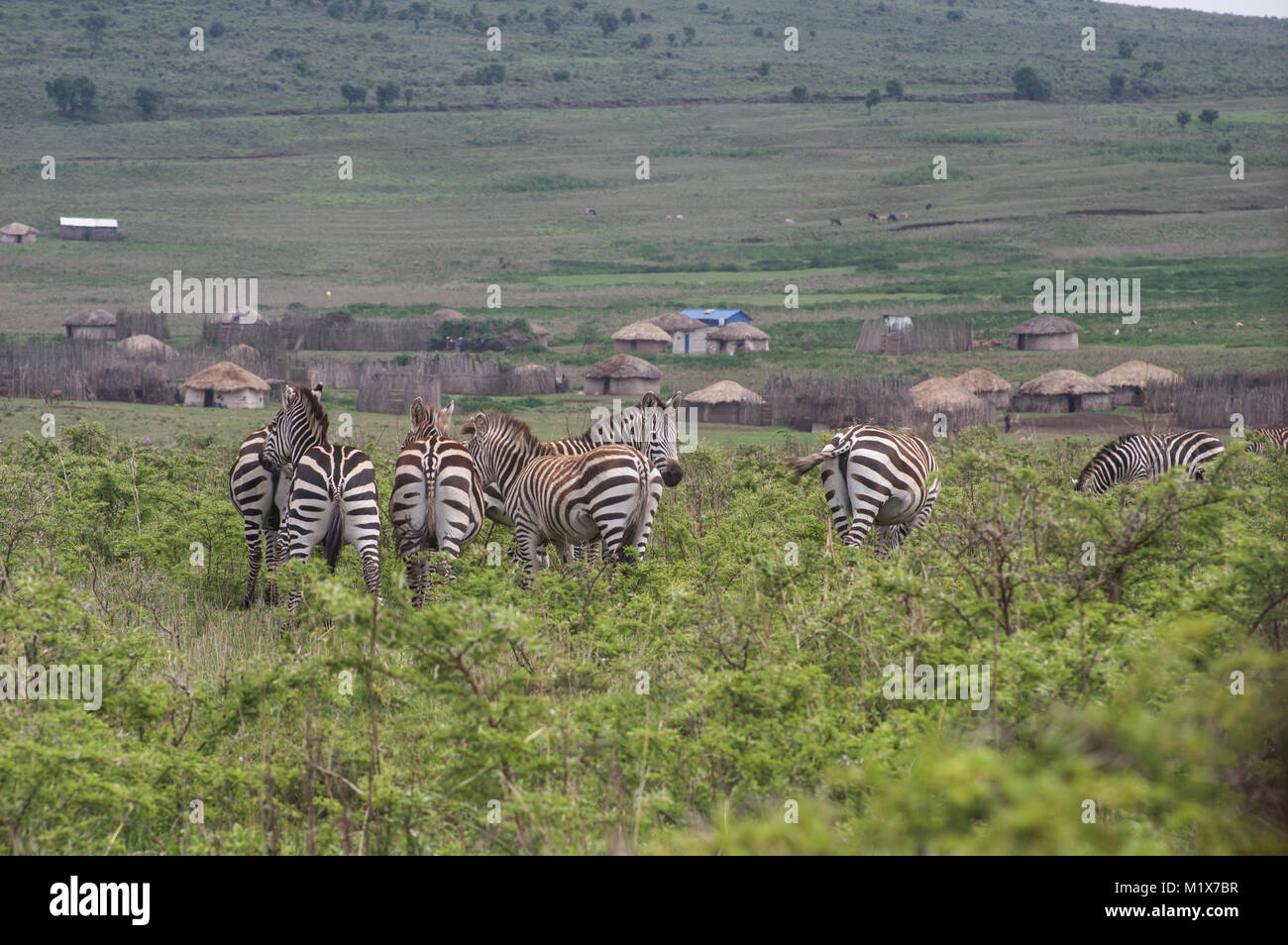 Zebras roaming freely in the Serengeti in northern Tanzania with acacia trees in the background in Nduti Serengetti - Stock Image