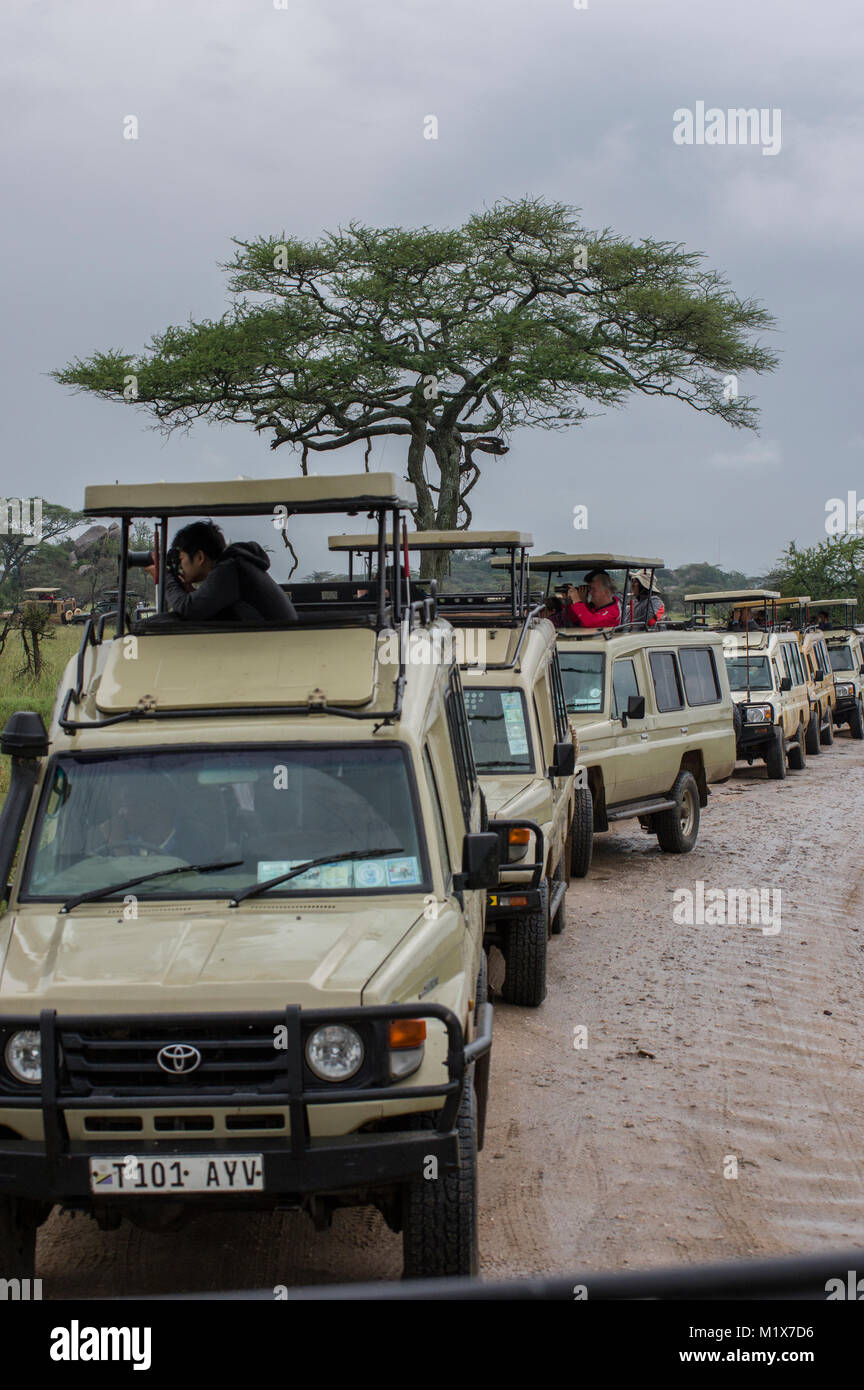 Long row of SUVs filled with tourists taking photos out of the windows or viewing animals on a safari in northern - Stock Image