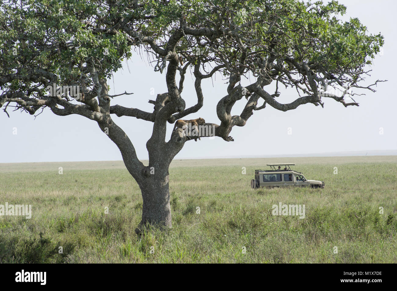 Leopard resting in a tree in the Serengeit, Northern Tanzania with an SUV of tourist driving past in the long grass - Stock Image