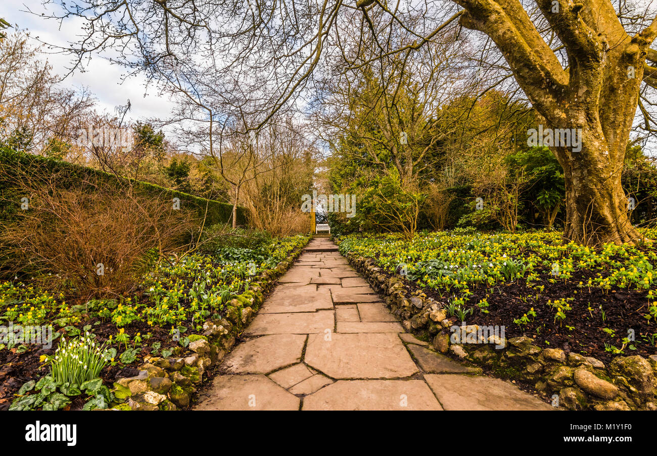 Aconites in the walled winter garden at Polesden Lacey, Surrey, UK - Stock Image