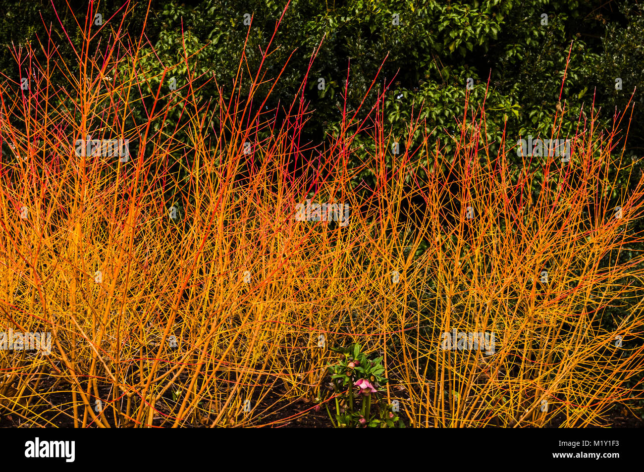 Flame red stems of Cornus at Polesden Lacey, Surrey, UK - Stock Image