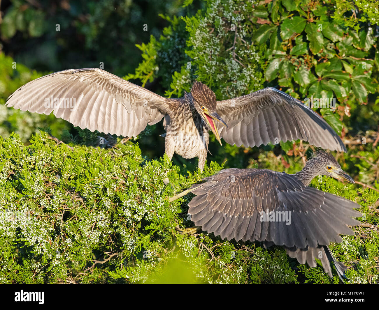Juvenile Black-crowned and Yellow-crowned NIght Herons - Stock Image